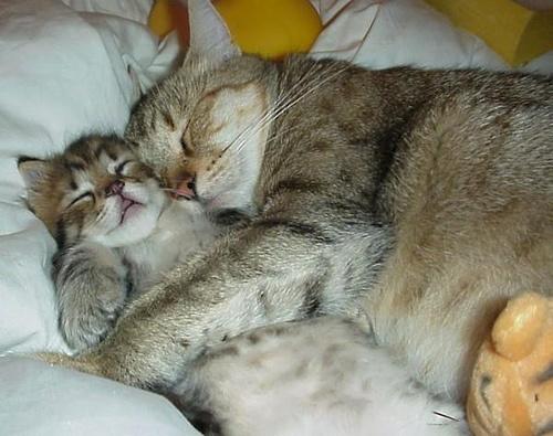 merevedés macskáknál kasztrálás után