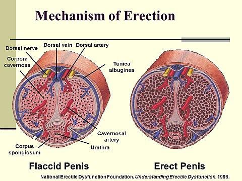 a pénisz szerkezete az erekció során)
