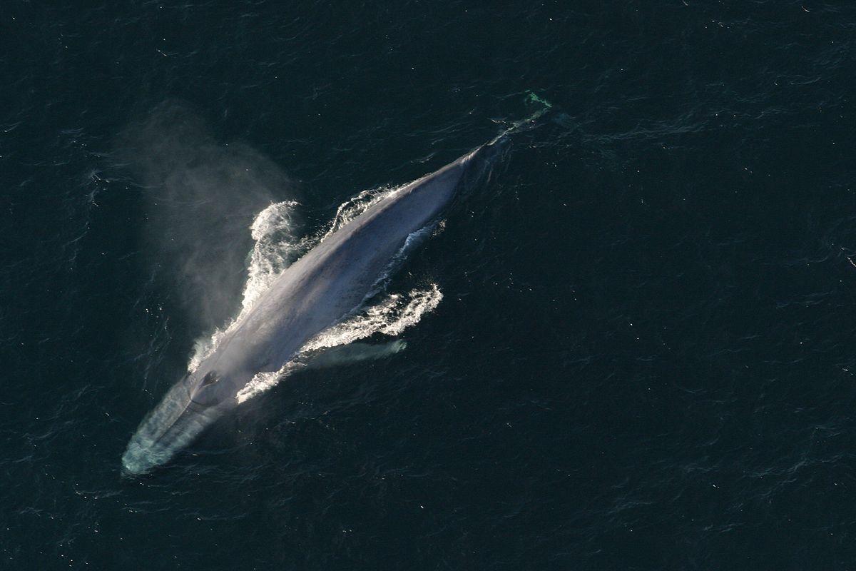 Kék bálna – Wikipédia