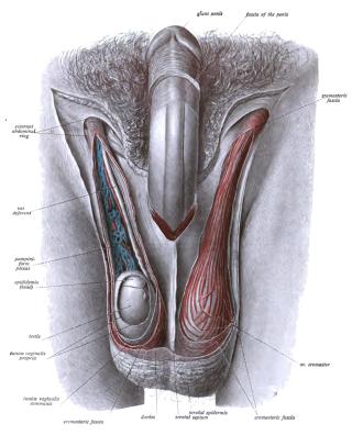 férfi tag vagy pénisz megnagyobbodása