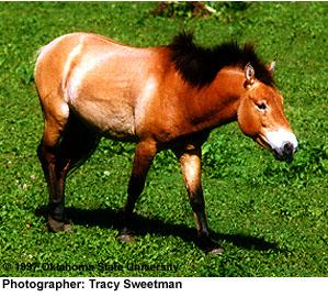felálló ló