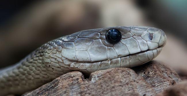 kígyó a péniszen)