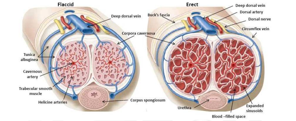 pénisz erekciós mechanizmus