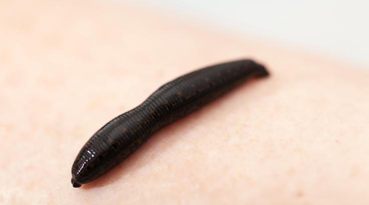 pióca a péniszen