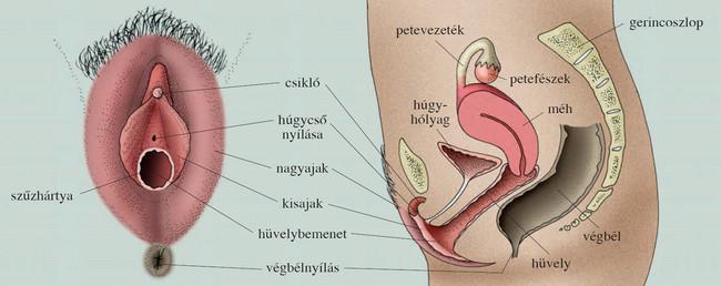 pénisz és női nemi szervek