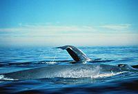 Kék bálna pénisz - Blue whale penis - tartozekstore.hu