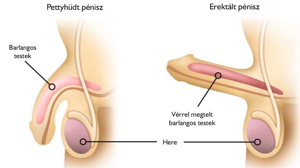 erekció során a pénisz lehajlik)