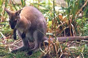 a kengurunak van pénisze erekciós urológus