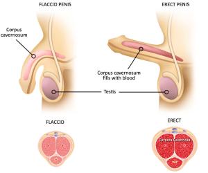 megkötött pénisz miért van fájdalom az erekció során