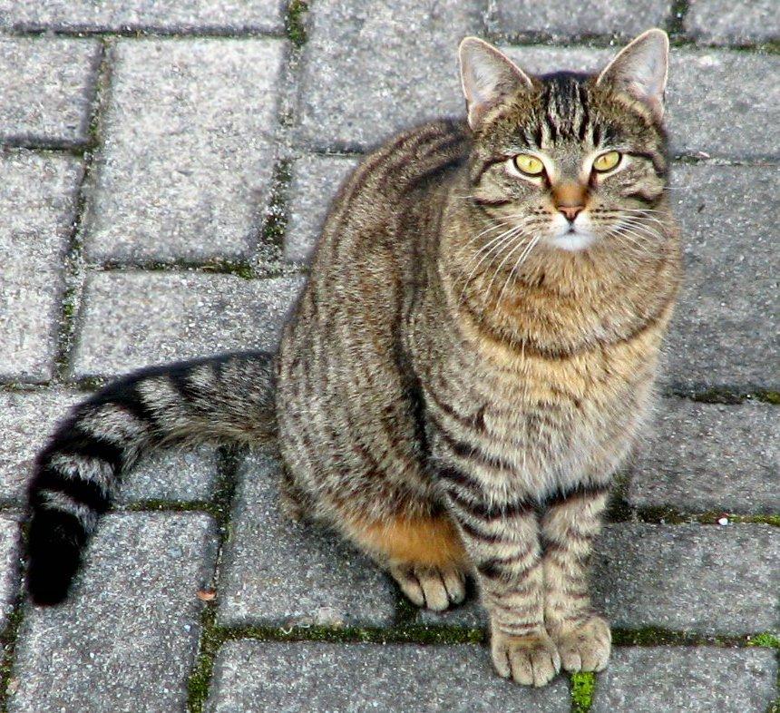 macska pénisz szerkezete
