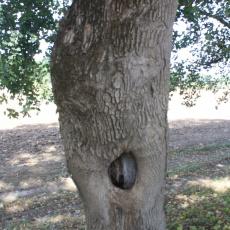 tölgy kéreg felállítása pénisz megnagyobbodása előtte