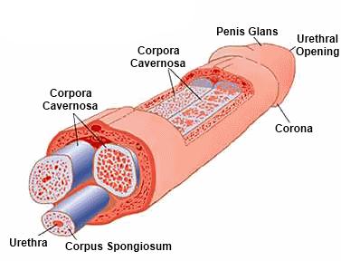 összehúzódott pénisz