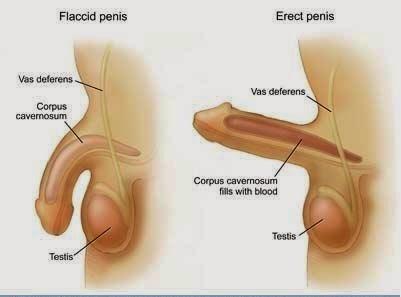 normális pénisz az erekcióban)