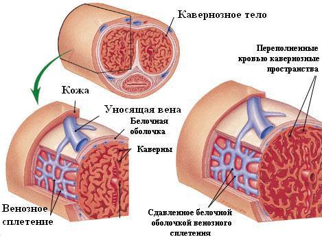 pénisz erekciós mechanizmus az erekció a nemi aktus során eltűnik