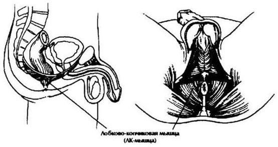 gyakorlatok a pénisz javítására)