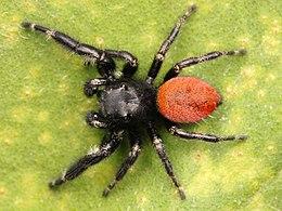 A pókok különös párzószerve – és az evolúció