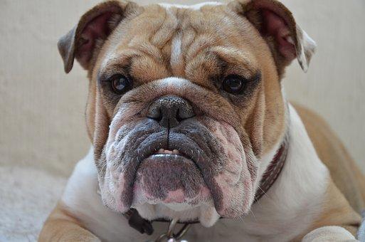 pénisz angol bulldog
