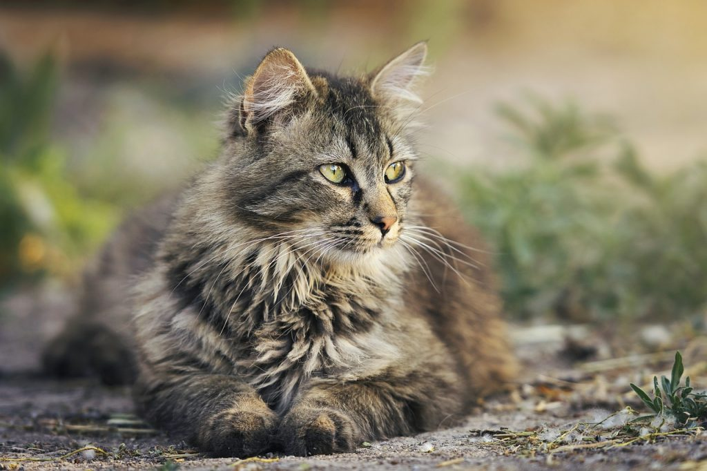 merevedés macskában kasztrálás után)