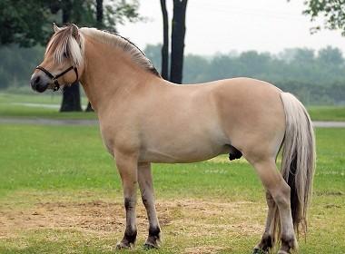 felálló ló)