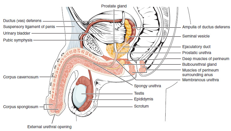 hogyan használják a pénisz mellékleteket)