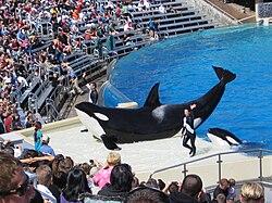 orcas pénisz