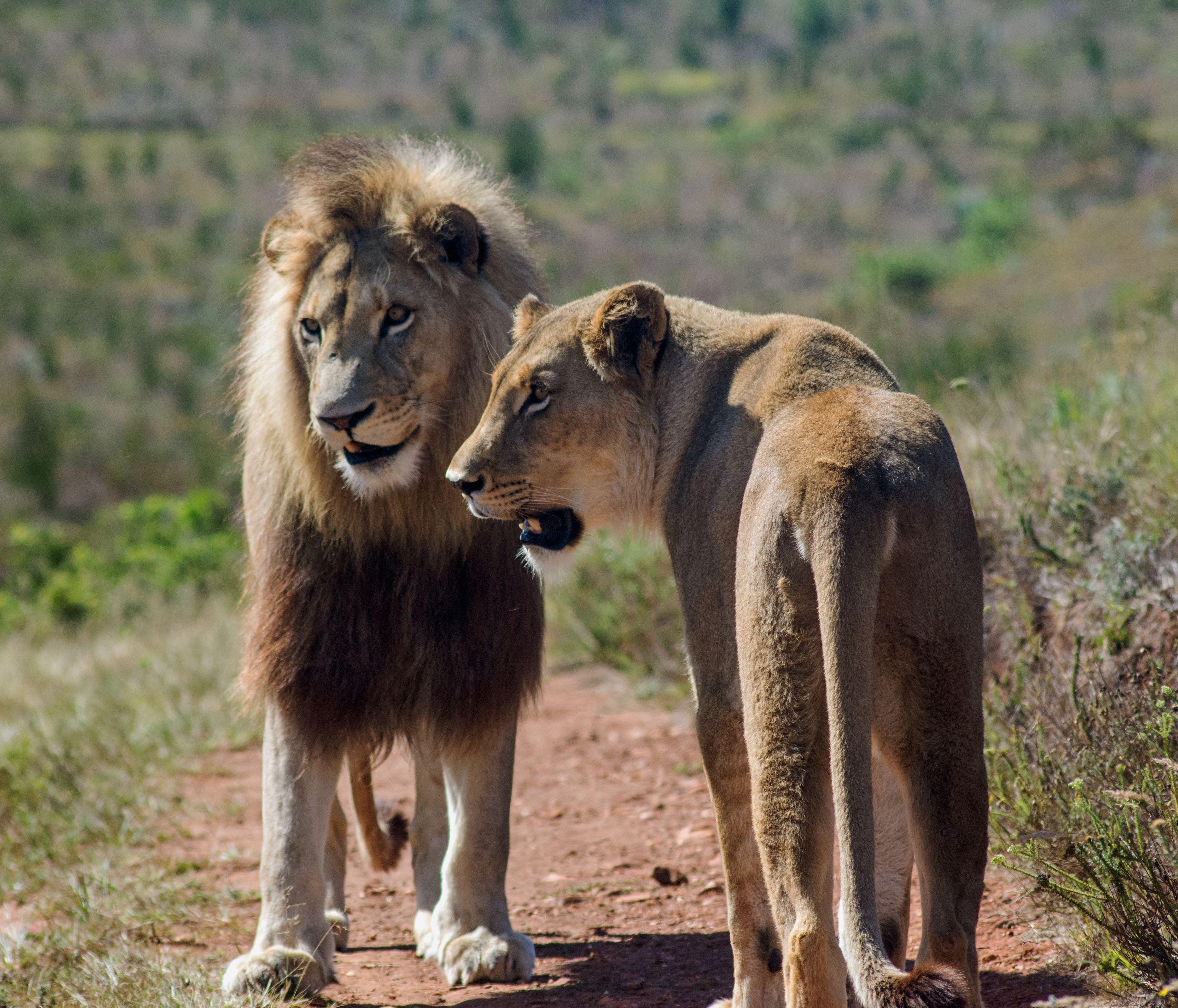 oroszlán pénisz hossza