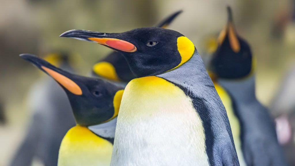 van-e péniszük a pingvineknek)