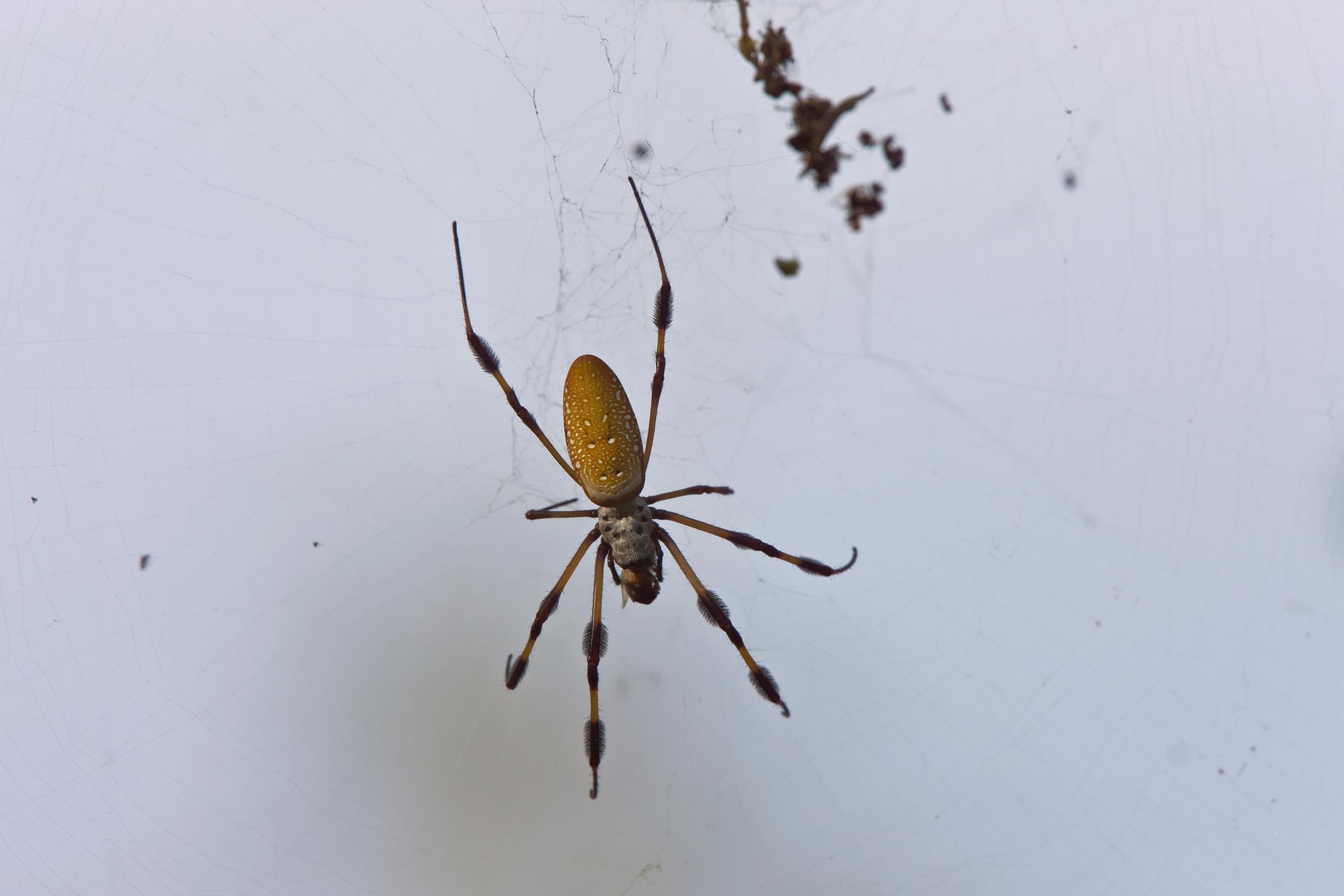 Index - Tudomány - Többórás erekciót okoz a pók csípése