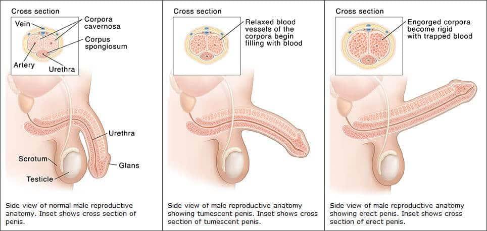 vér a spermában az erekció során