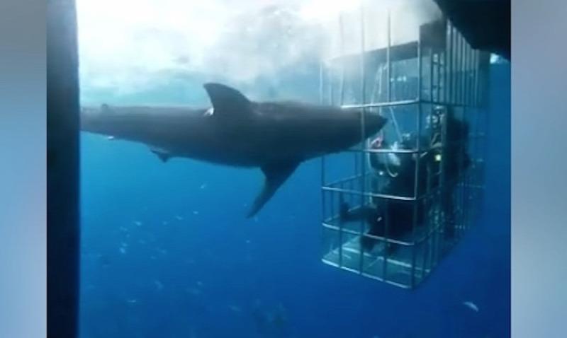 a hím cápáknak nincs péniszük
