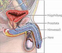 a pénisz tövének felső része az erekciós idő növekedése