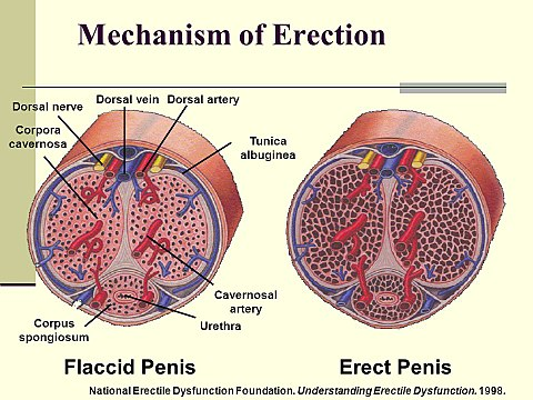 típusú pénisz-erekció