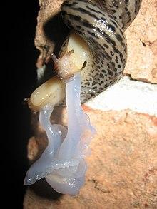 Csigák – Wikipédia
