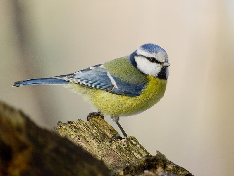 mely madaraknak van péniszük