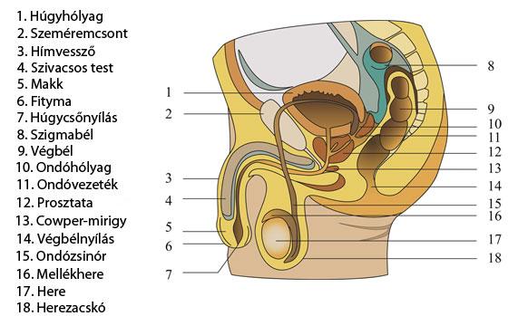 férfi nemi szerv erekcióval
