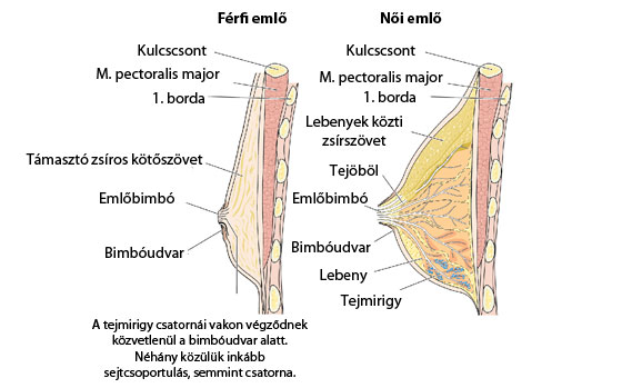 egy mellbimbó felépítése)
