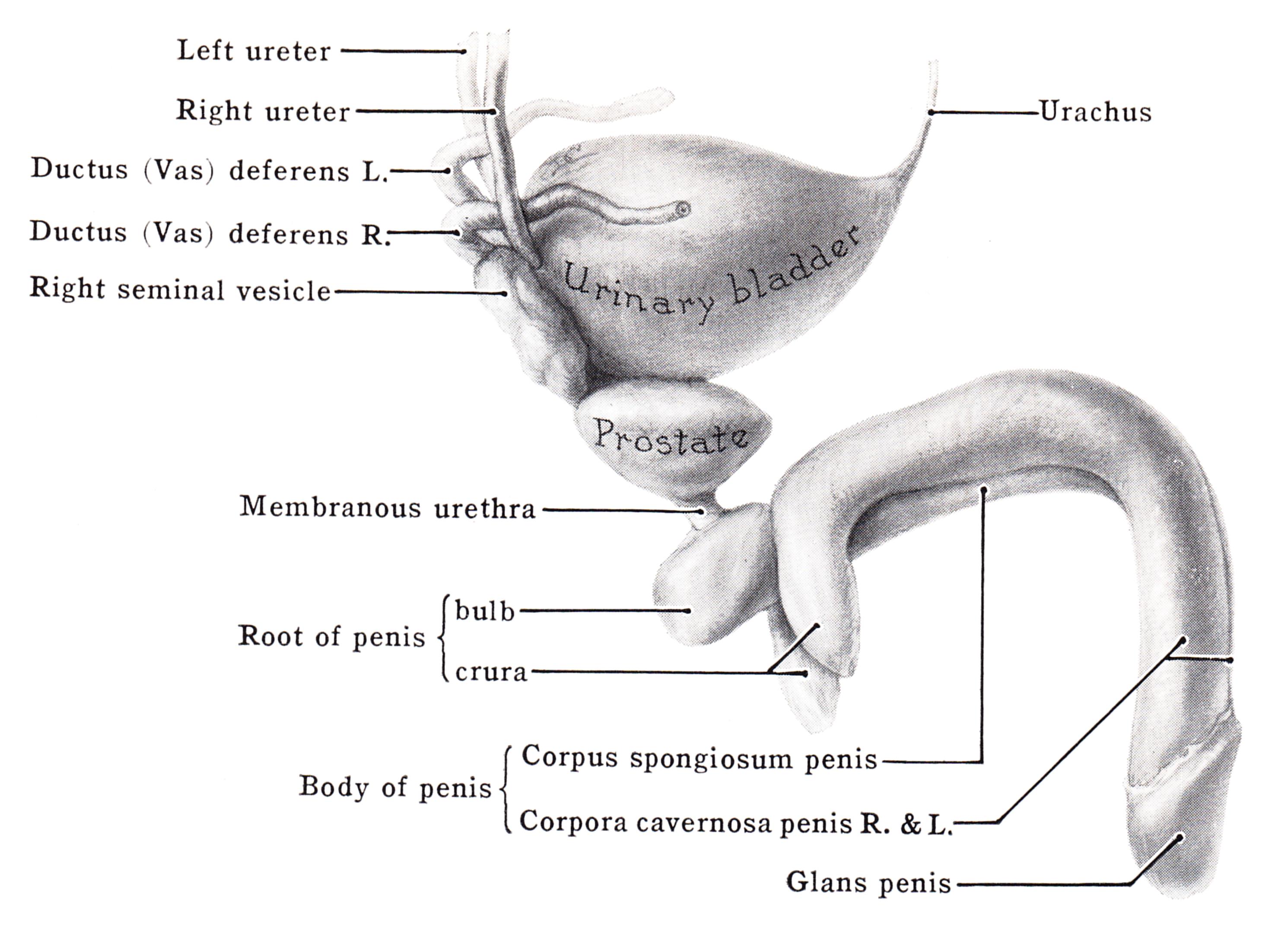 pénisz corpus cavernosum jelent kis péniszemet