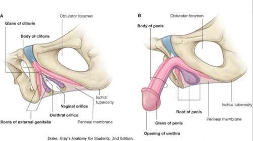 a pénisz része