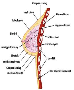 normális férfi pénisz valerian erekció