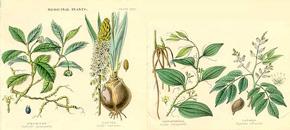 erekciós gyógynövények