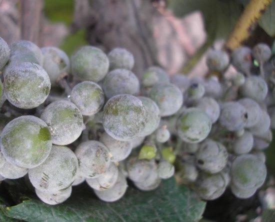 hogy a szőlő hogyan befolyásolja az erekciót)