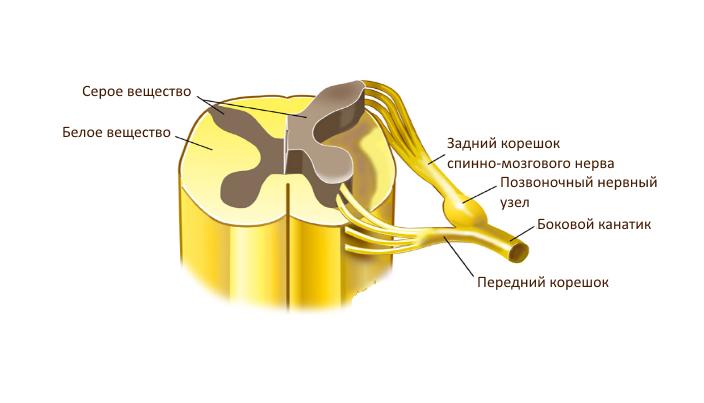 mi a közepes hosszúságú pénisz