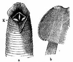 Pióca paraziták. Élősködő | A Pallas nagy lexikona | Kézikönyvtár